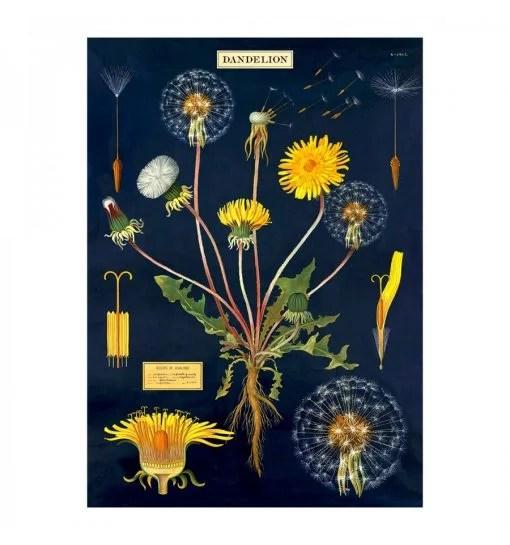 Affiche pédagogique Dandelion pissenlit Cavallini & Co