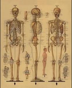 Affiche ancienne Squelette Cavallini