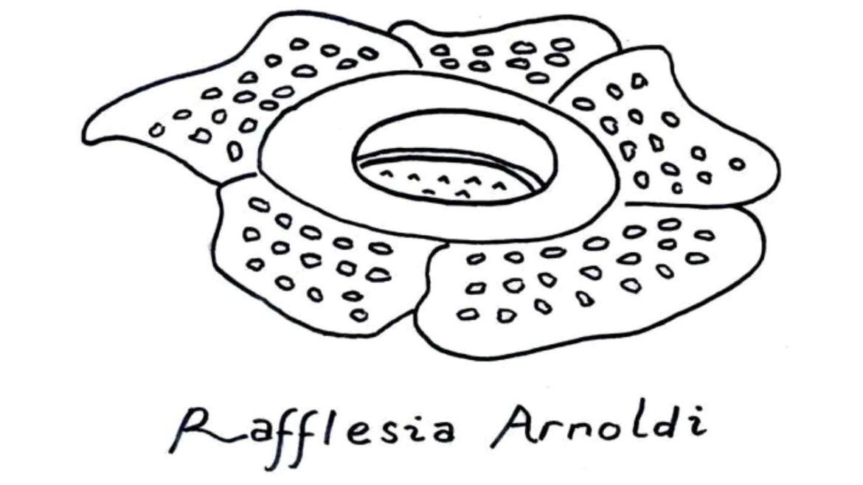 sketsa bunga raflesia arnoldi