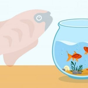 Cara budidaya ikan molly