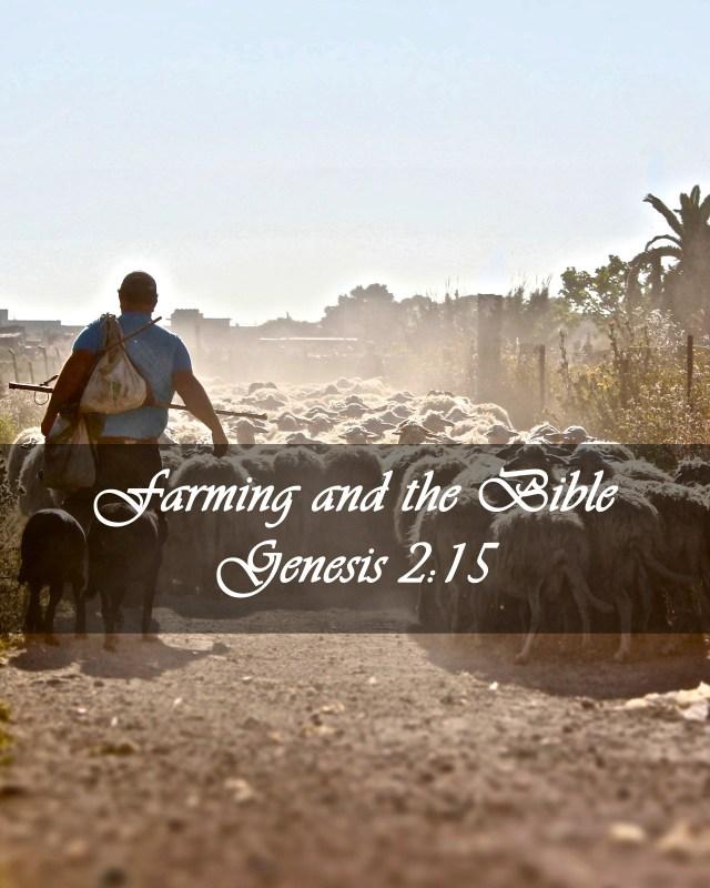 Farmer tending Sheep