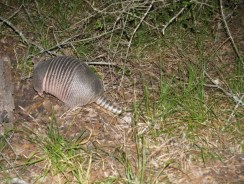 Armadillo In the campground - digging under a stump for grubs