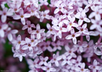 Densely packed lilac blossoms