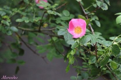 A dainty climbing rose.