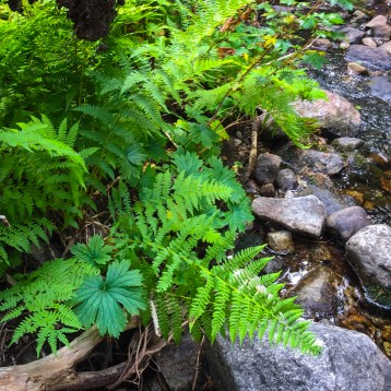 Ferns seen while hiking Camas Creek Trail to Camas Lake Montana
