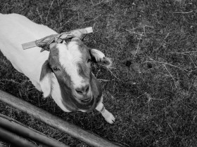 All the other goats ran off, but this little stinker came right up to the fence.