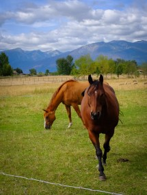 Bay and sorrel horse grazing in montana