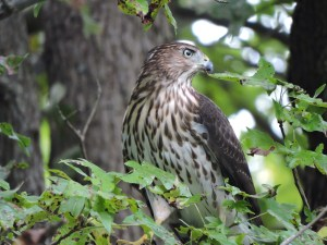 The Tale Of The Backyard Hawk