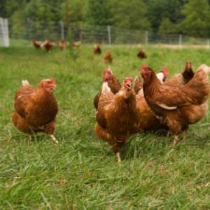 galinhaorganica