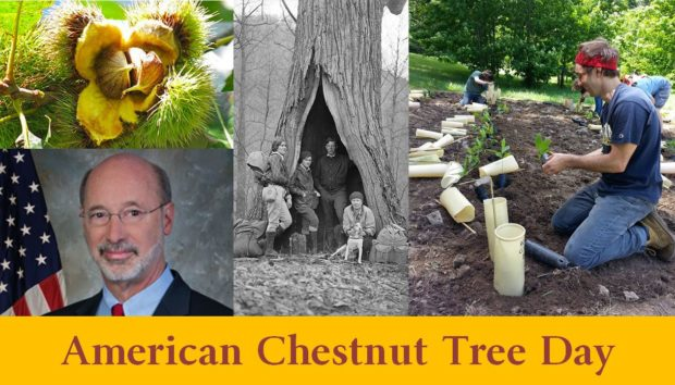 Governor Thomas Wolf  proclaims — American Chestnut Tree Day in the Commonwealth // October 24th