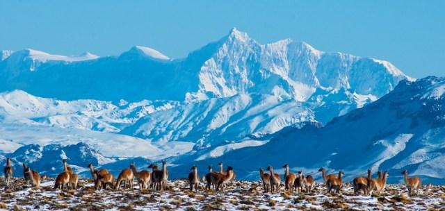 Panorámica del Parque Patagonia, guanacos frente a las montañas nevadas. Encuesta para los turistas.