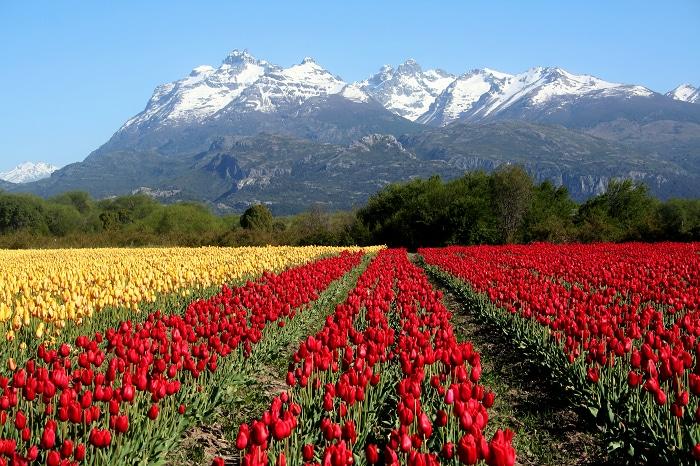 Filas de tulipanes de colores rojo y amarillo con las montañas de fondo