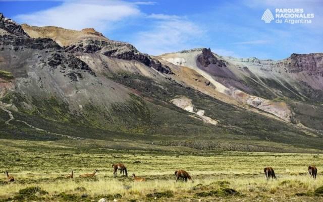 Guanacos pastando con las montañas de fondo.