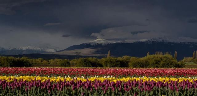 Tulipanes de colores múltiples con el cielo gris de fondo.