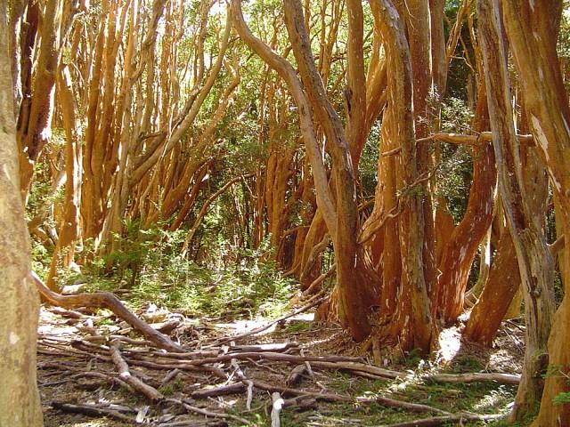 Bosque de árboles en el parque Nacional Arrayanes.