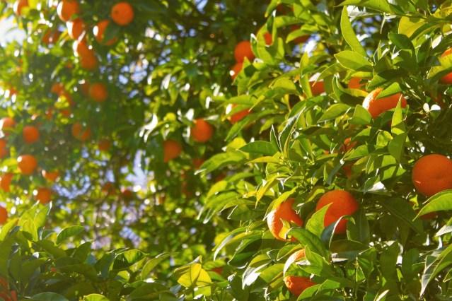 Árbol de naranjas.