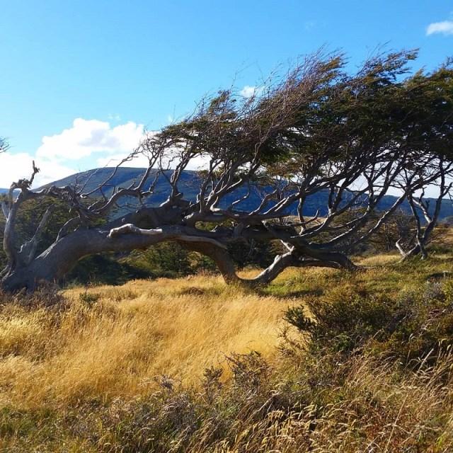 Árbol bandera en Ushuaia