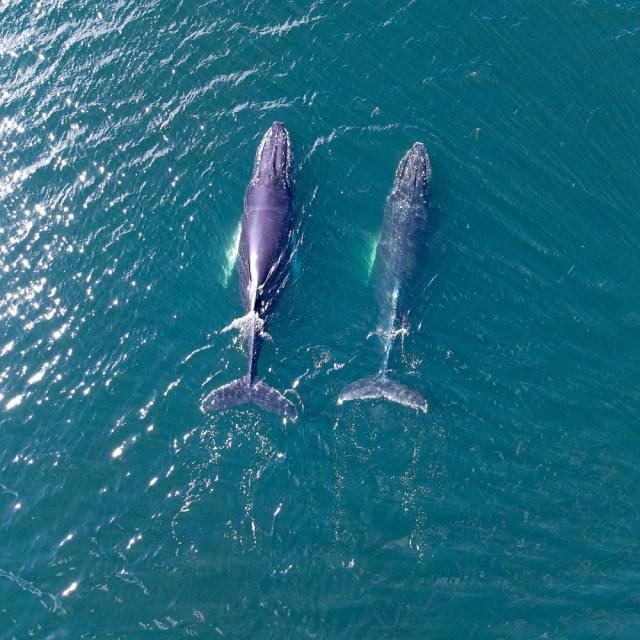 Ballenas jorobadas en el Canal Beagle