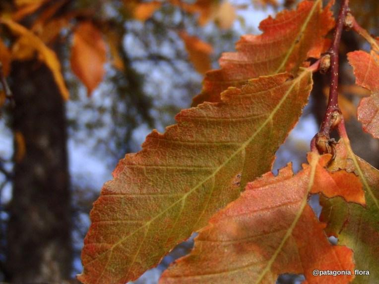 Nothofagus-obliqua-patagonia-wildflowers