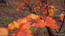 Nothofagus-antarctica-autumn-patagonia