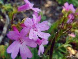 Ourisia alpina