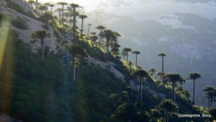 Araucaria-araucana-forest