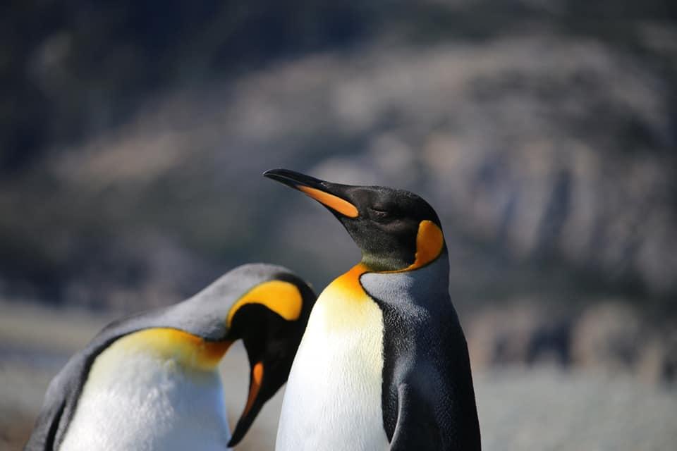 King_penguin_tierra_del_fuego_chile
