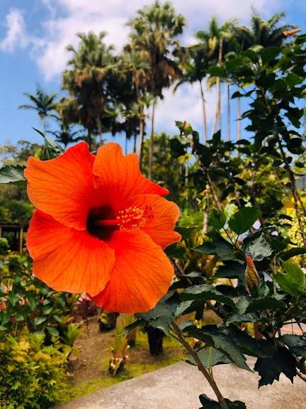 fleur rouge arbres palmiers pistil pétale nature vert paysage