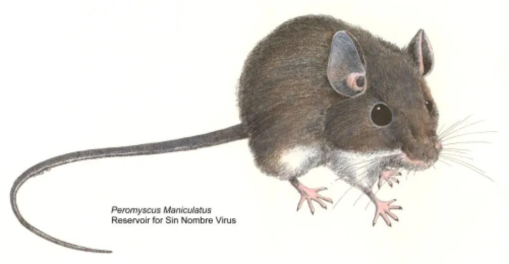 Hantavirus Reminder Issued After Two Deer Mice Test Positive ...