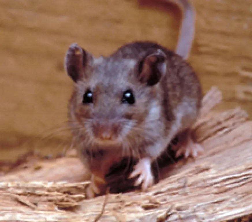 Hantavirus Infected Mouse Found in Chula Vista, Rodent Cases More ...
