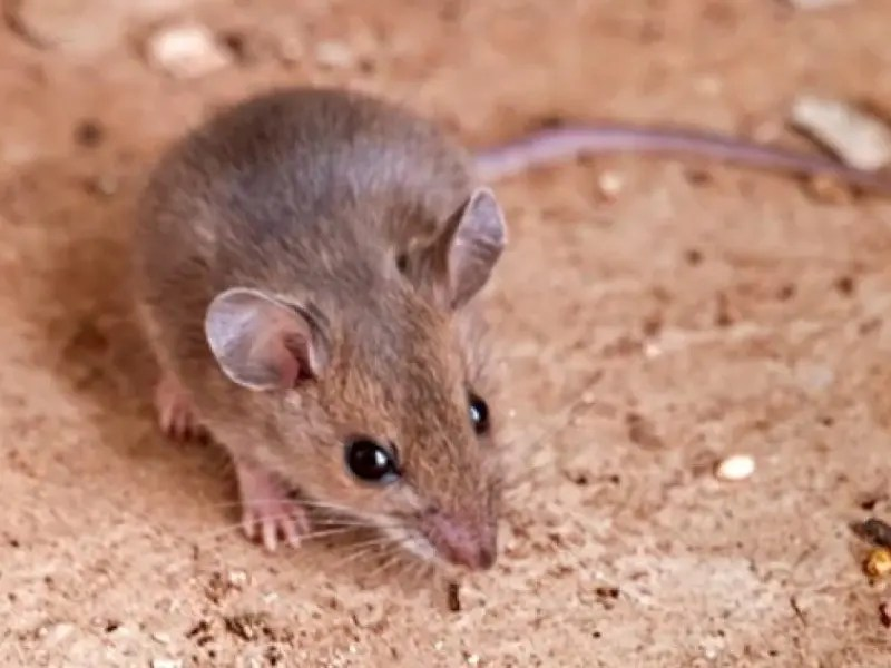 Rodents with Hantavirus Found in Carlsbad | Carlsbad, CA Patch