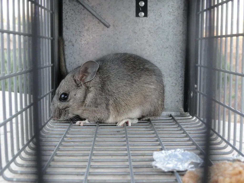 More Rodents Carrying Hantavirus Found | Ramona, CA Patch