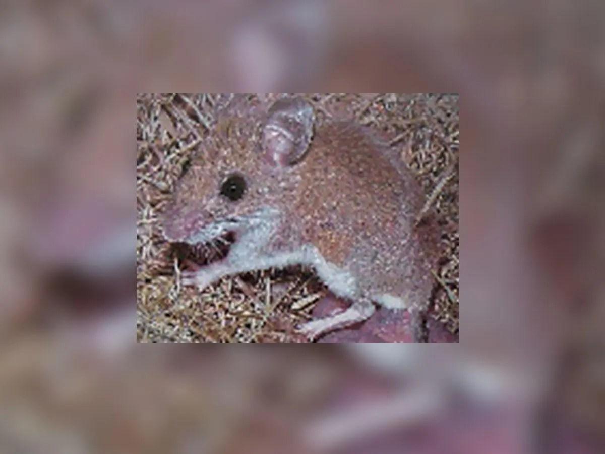 Health Officials Warn: Hantavirus Found Near Pacifica | Pacifica ...