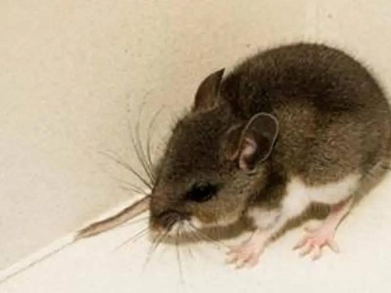 3 Mice Test Positive For Hantavirus In San Diego County | La Mesa ...