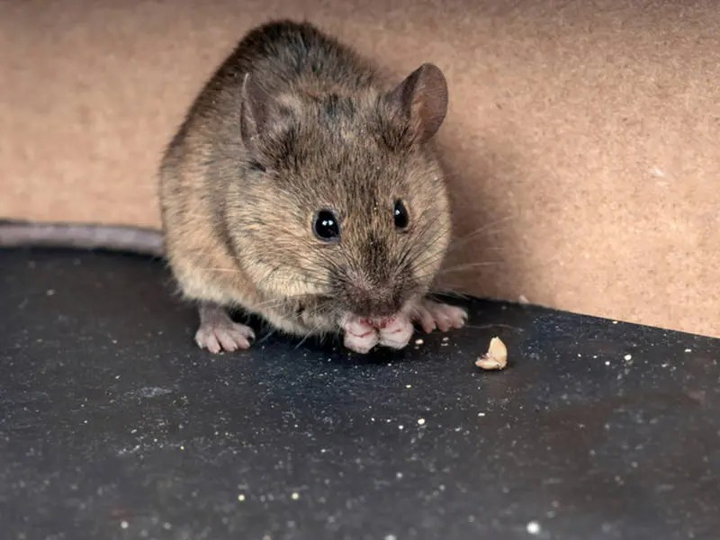 Hantavirus In San Diego County: Rodents Test Positive | Rancho ...