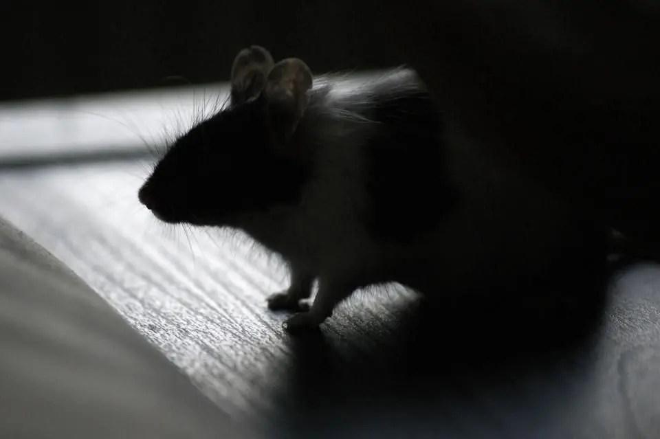 Mice from RivCo Nature Preserve Test Positive for Hantavirus ...