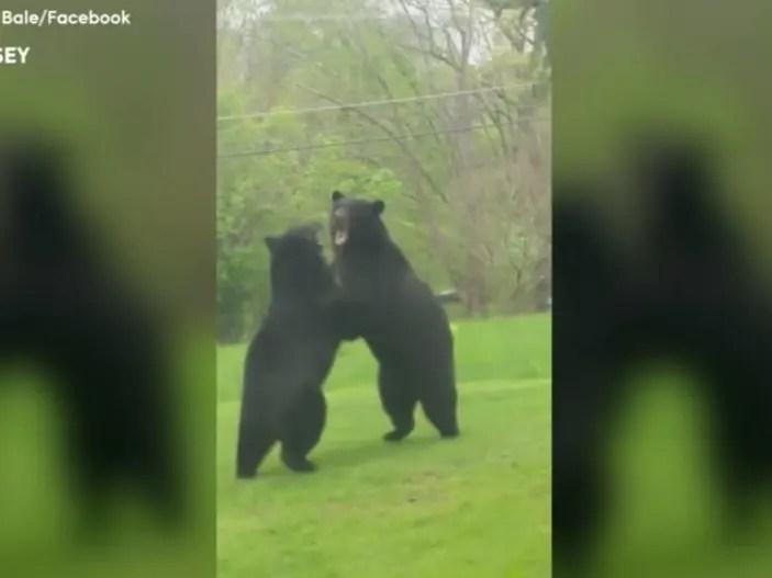 watch huge black bears