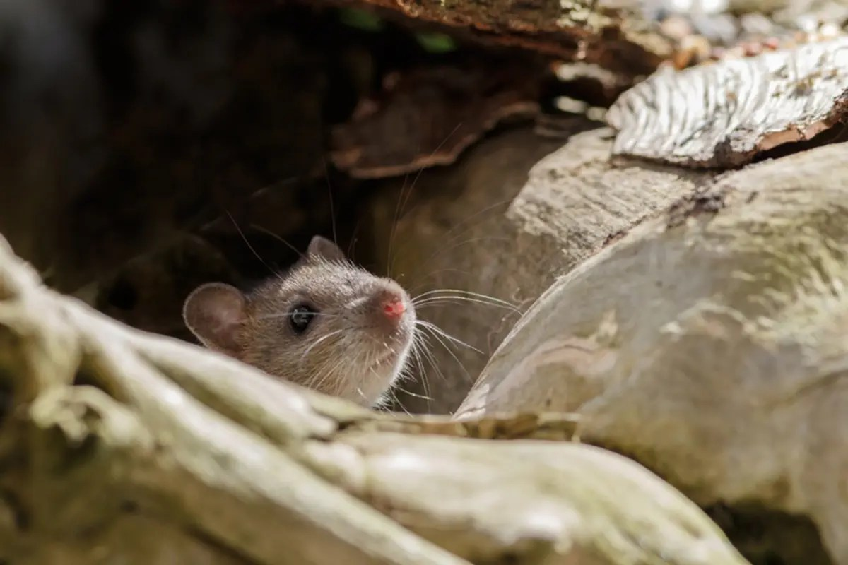 Watch For Rodent Poop During Spring Cleaning: King County ...