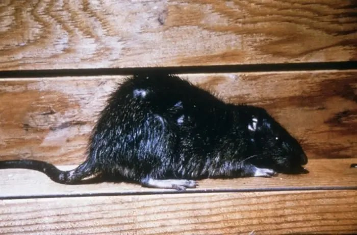 Pet Rats Linked To Virus Outbreak In Illinois: CDC | Chicago, IL Patch