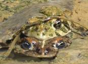 A pair of Amargosa toads photographed on April 11, 2018. Len Warren The Nature Conservancy