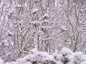 Snow on Branches by Allison Reid