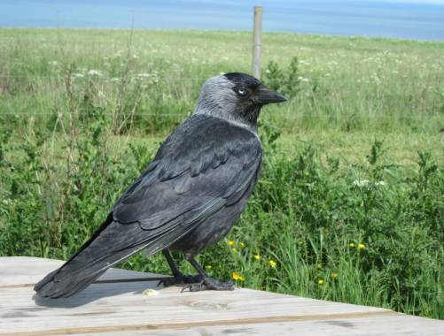 Bempton Cliffs Jackdaw by Allison Reid