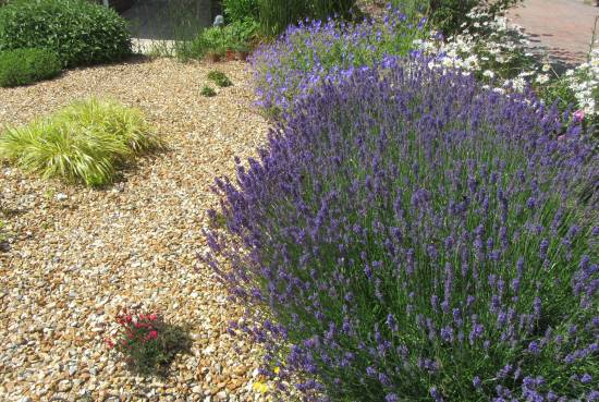 Lavender Hidcote by Allison Reid
