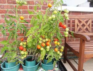 Tomatoes ripening in my garden by Allison Reid