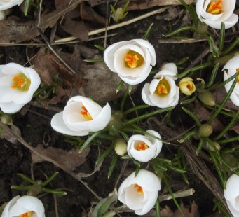 crocus' begin spring