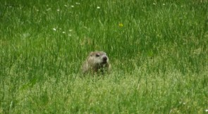 Ground hog 3