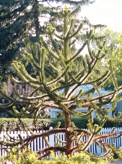 Pine tree in Niagara on the Lake