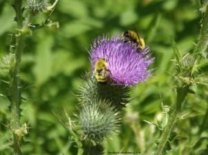 Thistle n Bees