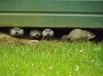 wee groundhogs peeking @ Patchwork Ponderings (1)