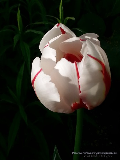 Canada tulip at PatchworkPonderings (1)